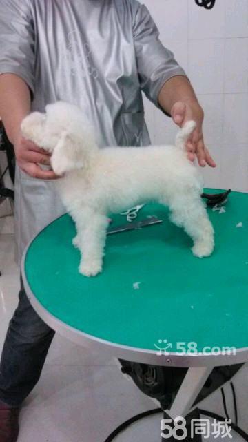 茶杯犬白色图片 贵宾茶杯犬白色照片 贵宾茶杯犬 ...