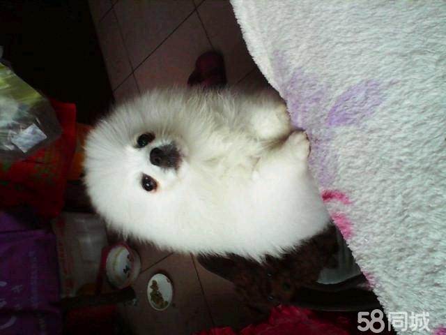【图】调皮可爱的英系纯种小博美宝宝 - 高密宠物狗