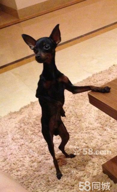 铁包金小鹿犬多少钱_【图】纯种铁包金小鹿犬配种 - 西青中北宠物狗 - 天津58同城