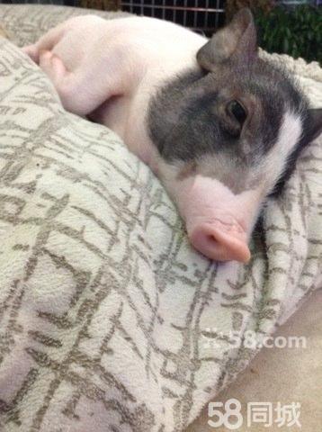 【图】宠物猪 超可爱现转让