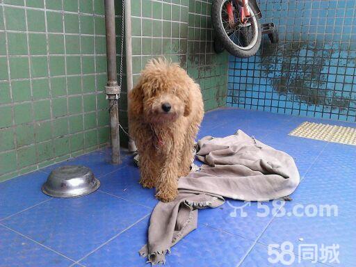 【图】出售纯种可爱泰迪犬