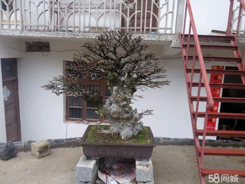 【图】榆树盆景精品中的精品