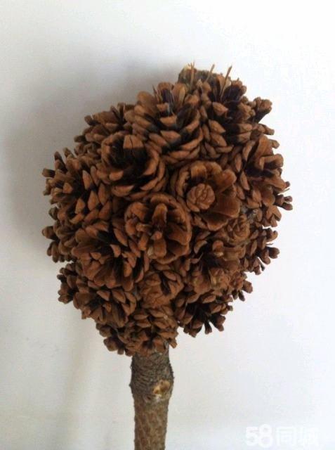 松树基因突变所结的松子