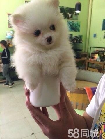 【图】出售可爱的绣球博美犬