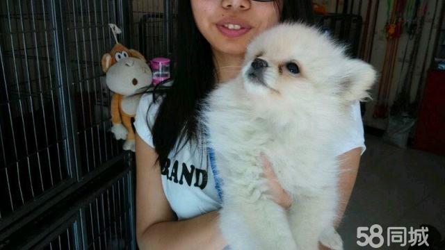 【图】是博美是俊介,可爱的宝宝出售 - 雁塔电视塔狗
