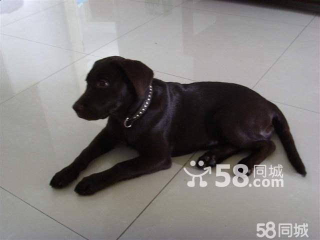 【图】喜欢买纯黑色的成年拉布拉多犬的朋友来