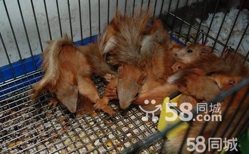 可爱松鼠动物脚印