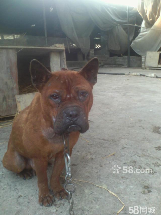 川东猎犬多少钱一只_【图】川东猎犬出售 - 重庆周边铜梁宠物狗 - 重庆58同城