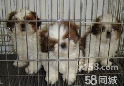 【图】纯种美女犬 西施犬