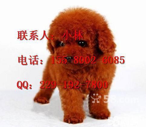【图】我家养的深红色茶杯犬泰迪幼犬出售