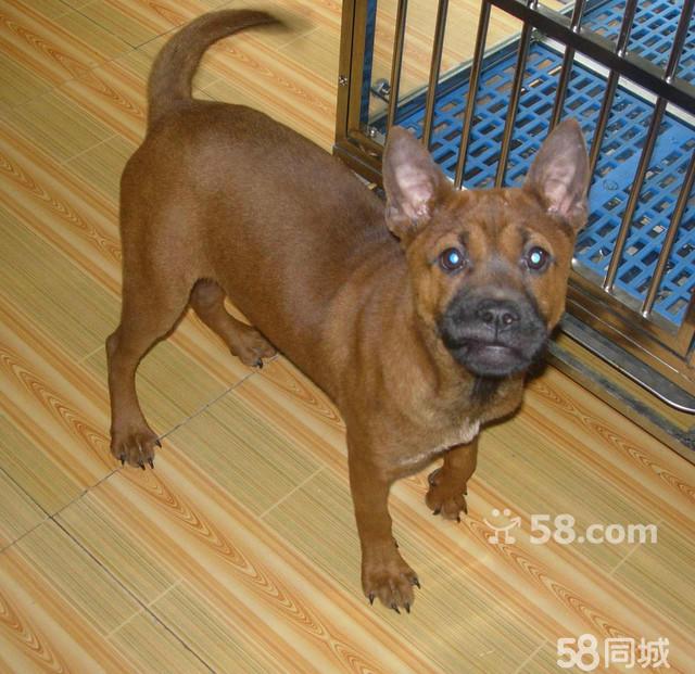 川东猎犬多少钱一只_【图】川东猎犬出售 5个月 - 万州宠物狗 - 重庆58同城