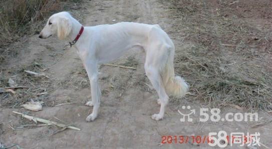 陕西细犬(当地人都称其为细狗) 颜色;陕西细犬的毛色很多,基本主要以白、黑、红三色为主。白要发青的白,黑要深黑,红要枣红、牛毛红,其余属杂色。有少数的细犬前胸口有一块白毛,是允许的。 肩高;一般雄性65----75公分,雌性60-----70公分。 体重;雄性体重25----30公斤,雌性体重2025公斤。 头部;头脸干痩,头骨显梭形;长而狭窄,后枕骨突出,鼻梁骨突起。以下头部外型属于严重缺陷;凹脸,额宽嘴短。 鼻部;鼻镜为纯黑色。纯白色的细犬允许出现肉红色鼻。鼻梁隆起,似绵羊鼻。 耳部;分柳叶耳和猪