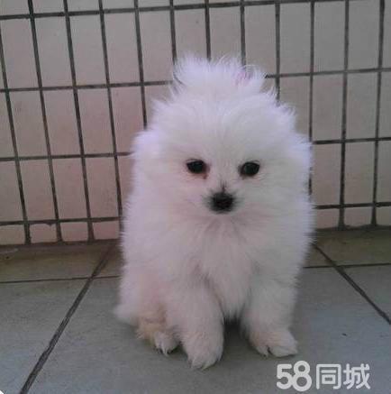【图】家养一窝超可爱超萌的白色茶杯犬博美~三百壹