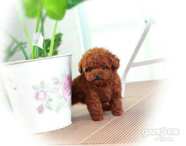 【图】植物园宠物会馆可爱泰迪幼崽出售