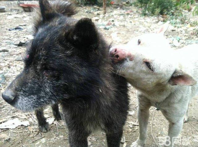 猎犬品种 小猎狗 中国最好的土猎狗