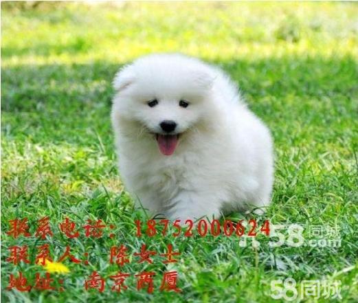 【图】极品萨摩耶出售或换狗