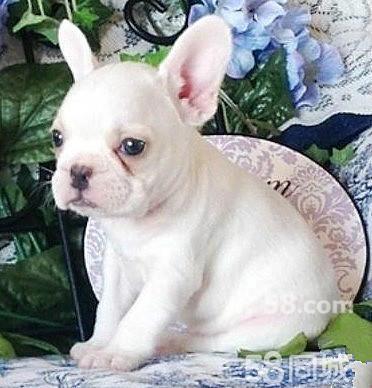 【图】宏达犬舍繁殖英牛法牛巴哥犬憨厚可爱体质健康