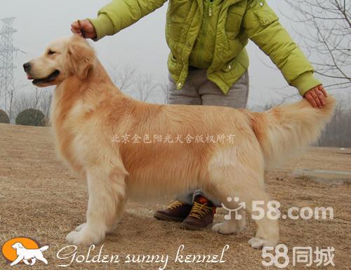 【图】世界最顶级血统最珍贵的金毛成年公犬首次来到