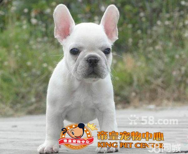 帝皇国际宠物顶级法国斗牛犬纯种法斗犬幼崽
