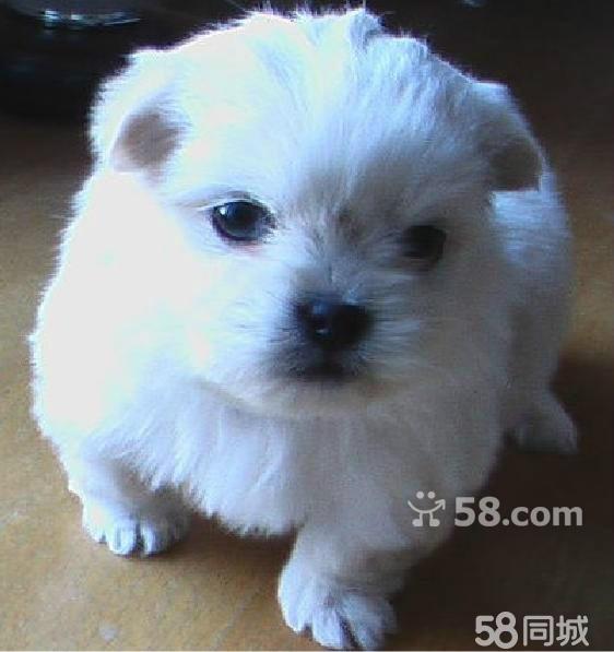 图】茶杯犬--长不大的迷你狗便宜超小体型袖珍狗 ...