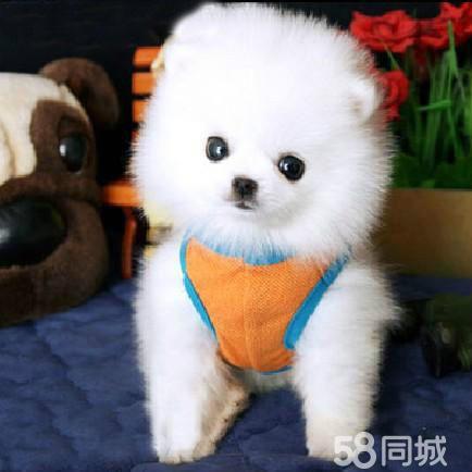 狗狗说晚安的图_【图】赠送自家乖巧可爱的宠物博美犬一窝多只来百分百健康 ...