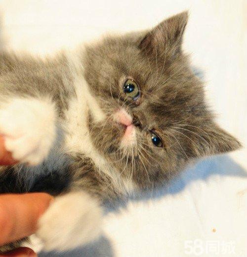 【图】免费赠送猫咪~~蓝白双色加菲妹妹超柔软胖嘟嘟