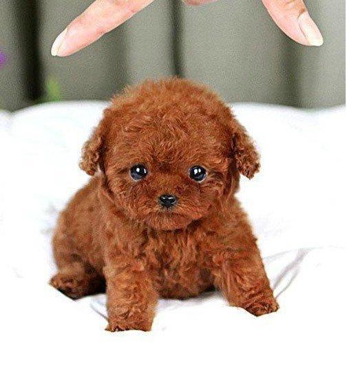 【图】包纯种可爱泰迪熊狗狗