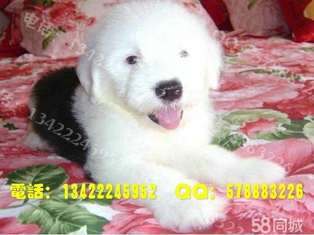 温顺大型犬品种大全_大型 犬 洗澡 大型 犬 组图 长毛 ...