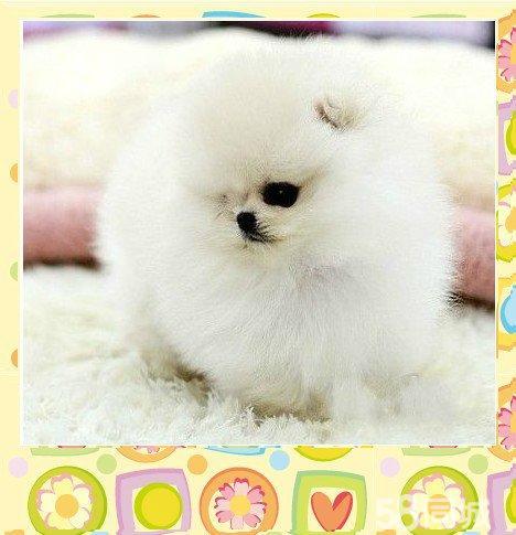 【图】小巧可爱的博美犬哈多利版球体博美
