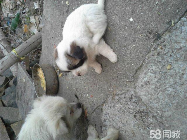 个人出售京巴狗3只白色的鼻子凹,个子小。纯袖珍狗.。公的已经没有了,,只有3只母的京巴狗。。很可爱,母狗也是很小的个子。。。总共生了5只,卖了2只公的,还有3母的。。。。在苍南买到京巴狗不容易啊这么低的价格。。。狗贩子滚开。。真心养京巴狗可以来苍南上门看 联系我时,请说是在58同城看到的,谢谢!