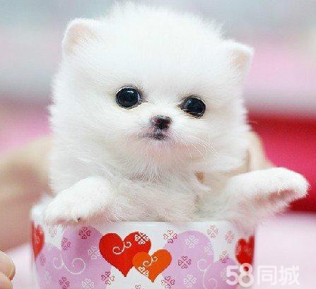 ... 犬 珍珠狗图片,_袖珍犬 珍珠狗多少钱,袖珍狗,_小龙文