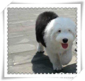 【图】纯种幼犬长毛犬白头通背双蓝眼古牧犬
