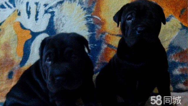 黑沙皮狗_出售黑色沙皮犬佳木斯前进区沙皮犬