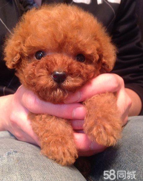 【图】微小玩具体型超可爱香槟色泰迪狗狗找爸爸妈妈