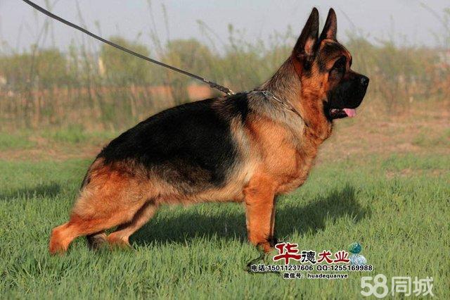 【图】华德犬业双耳符合标准德国牧羊犬种公黑神绝佳