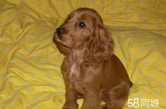 美国可卡和英国可卡_纯种宠物狗可卡幼犬美国可卡英国可卡金黄色可