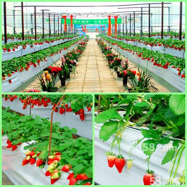 沈阳马耳山草莓采摘+蘑菇采一日游|沈阳春季草莓采摘