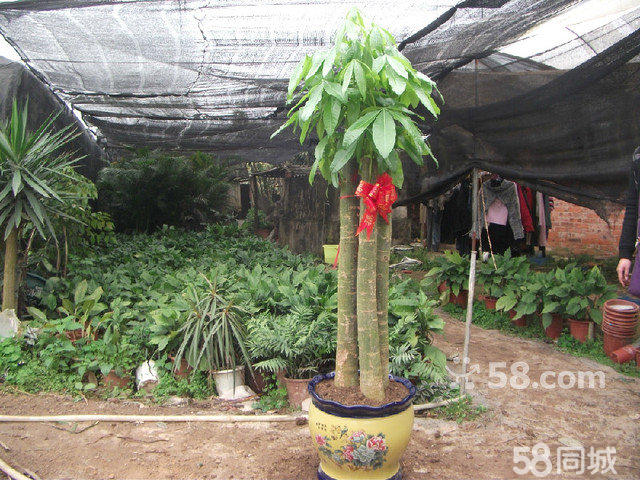 中盆栽植物:平安树,也门铁