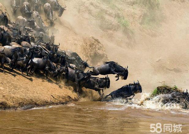 景区介绍: 马塞马拉动物保护区 马赛马拉国家保护区位于肯尼亚西南部与坦桑尼亚交界地区,与坦桑尼亚塞伦盖蒂动物保护区相连,形成世界上最著名的野生动物保护区。这里是地球上大型野生哺乳动物最集中的栖息地,是非洲野生动物观光的第一目的地,也是世界上最好的禁猎区之一,著名电视节目《动物世界》中的许多镜头拍摄于此。随着草原雨季的到来,每年从6月下旬到10月底这里都上演着世界上最壮观的野生动物大迁徙。一个拥有近300万动物的集群,一支长达3000多公里的展示队伍和一个优胜劣汰的竞技场,全年无休止的景观,这种情景已经持续