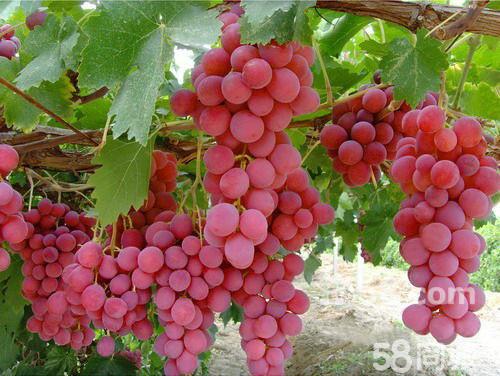 有没有长在树上的葡萄