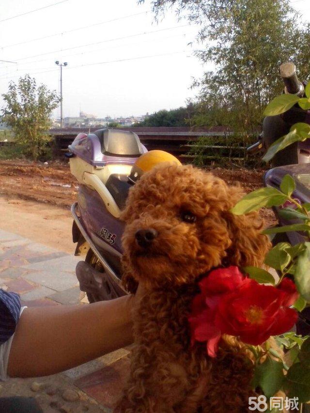 秋收广场附近遗失爱犬 1岁4个月的咖啡色